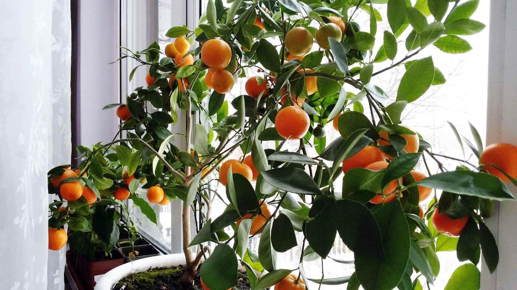 Красивое домашнее мандариновое дерево, фото и картинки 11