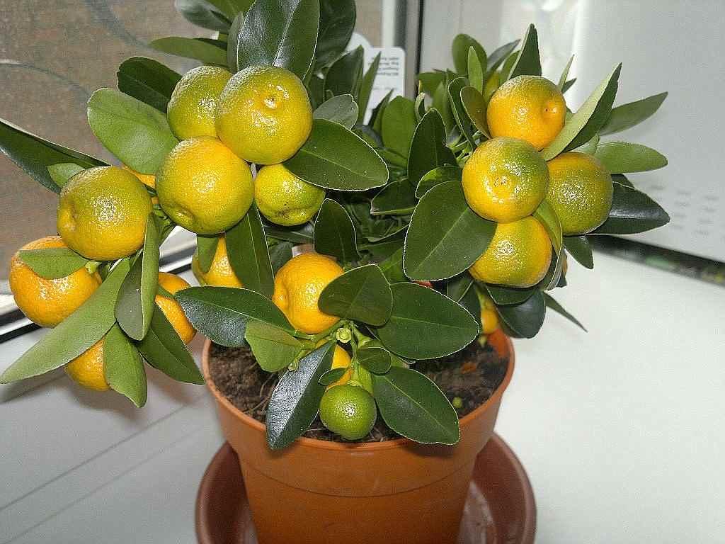 Красивое домашнее мандариновое дерево, фото и картинки 12