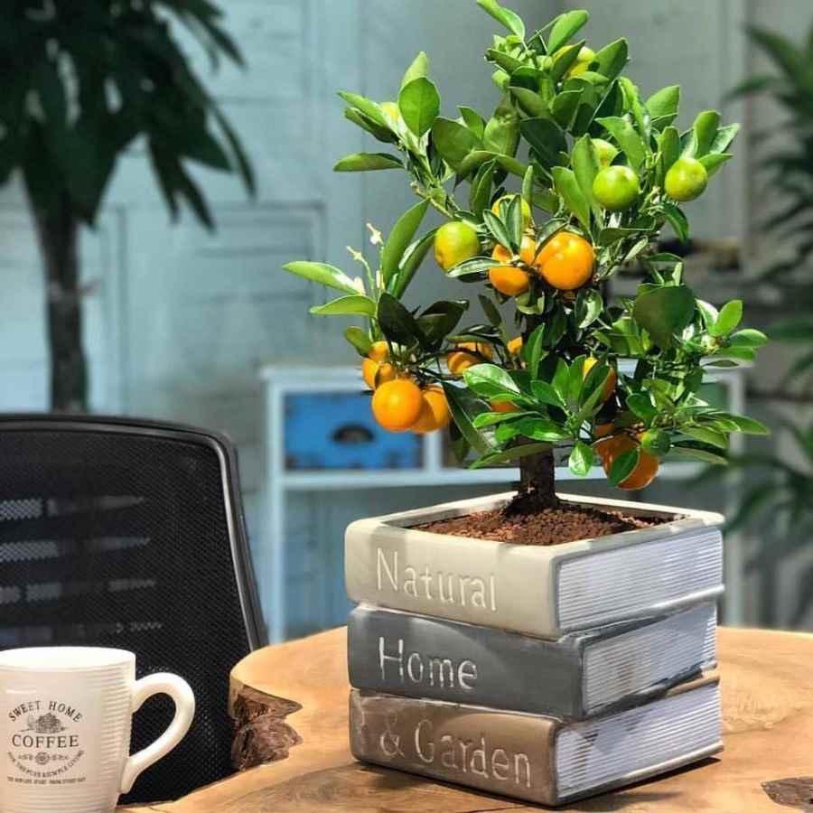 Красивое домашнее мандариновое дерево, фото и картинки 13