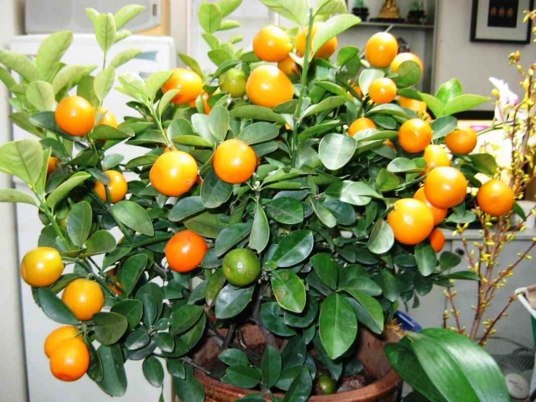 Красивое домашнее мандариновое дерево, фото и картинки 14
