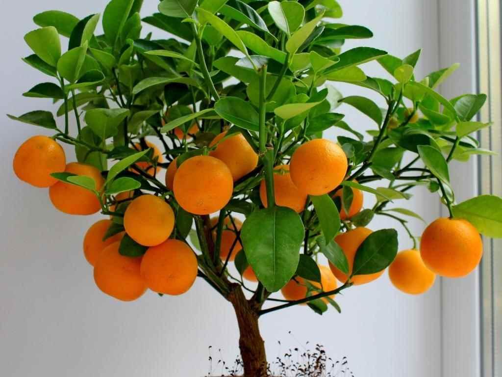 Красивое домашнее мандариновое дерево, фото и картинки 15