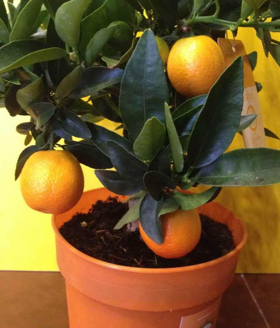 Красивое домашнее мандариновое дерево, фото и картинки 16