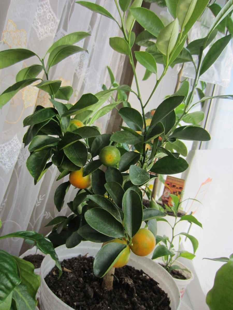 Красивое домашнее мандариновое дерево, фото и картинки 17