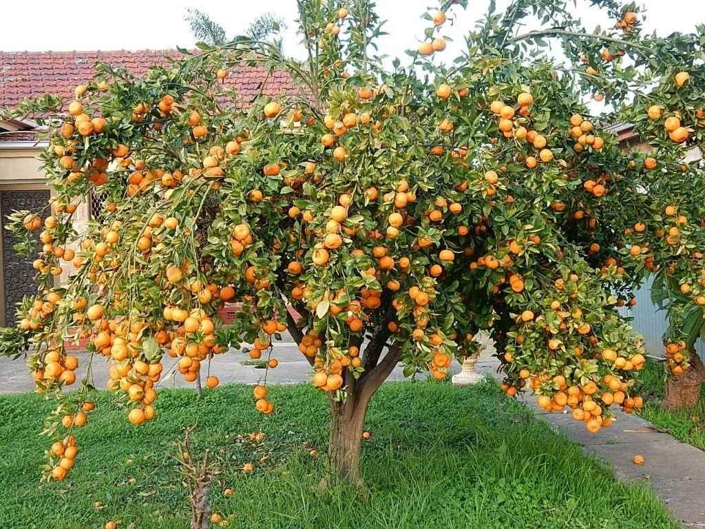 Красивое домашнее мандариновое дерево, фото и картинки 18