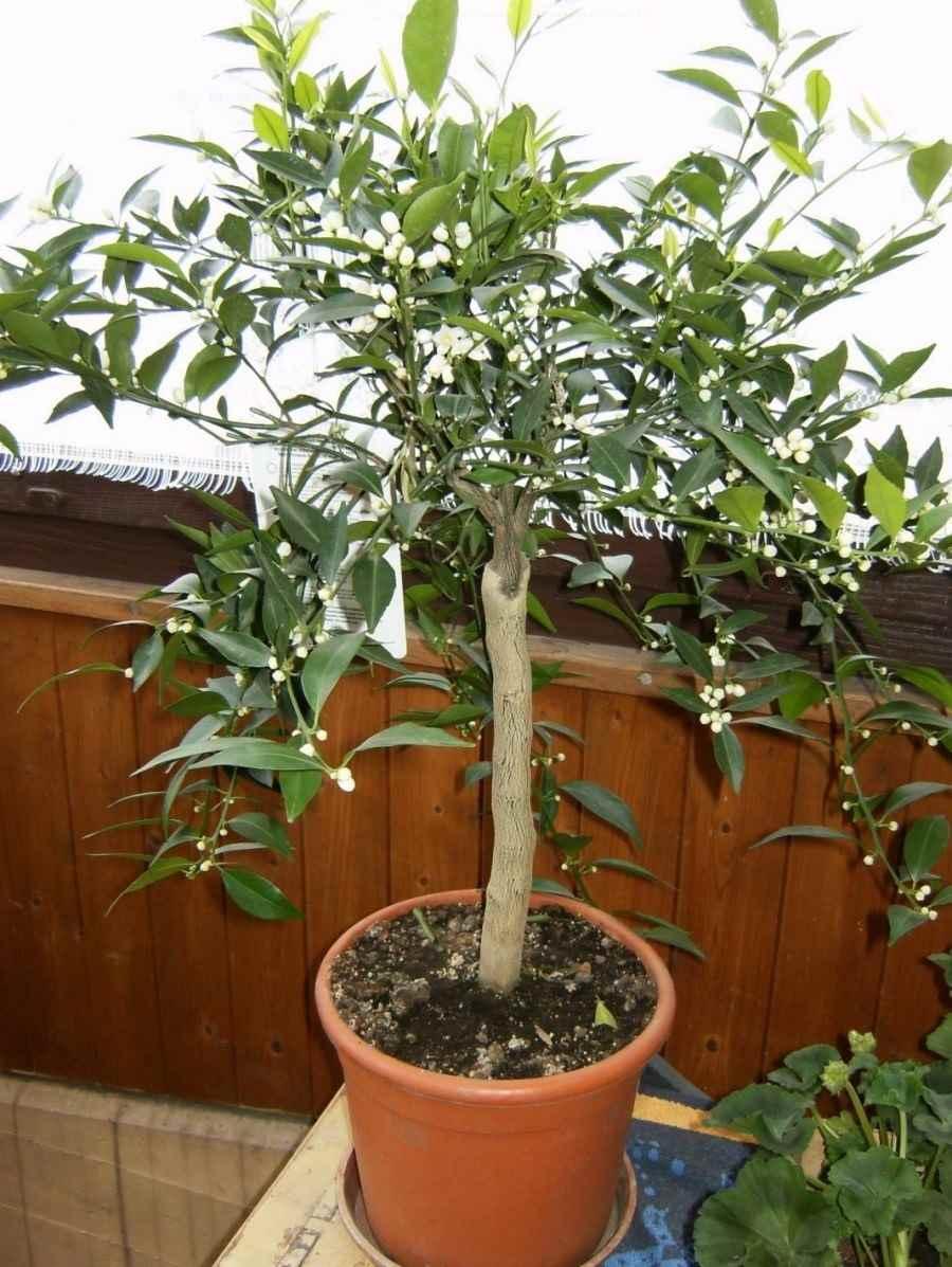 Красивое домашнее мандариновое дерево, фото и картинки 20