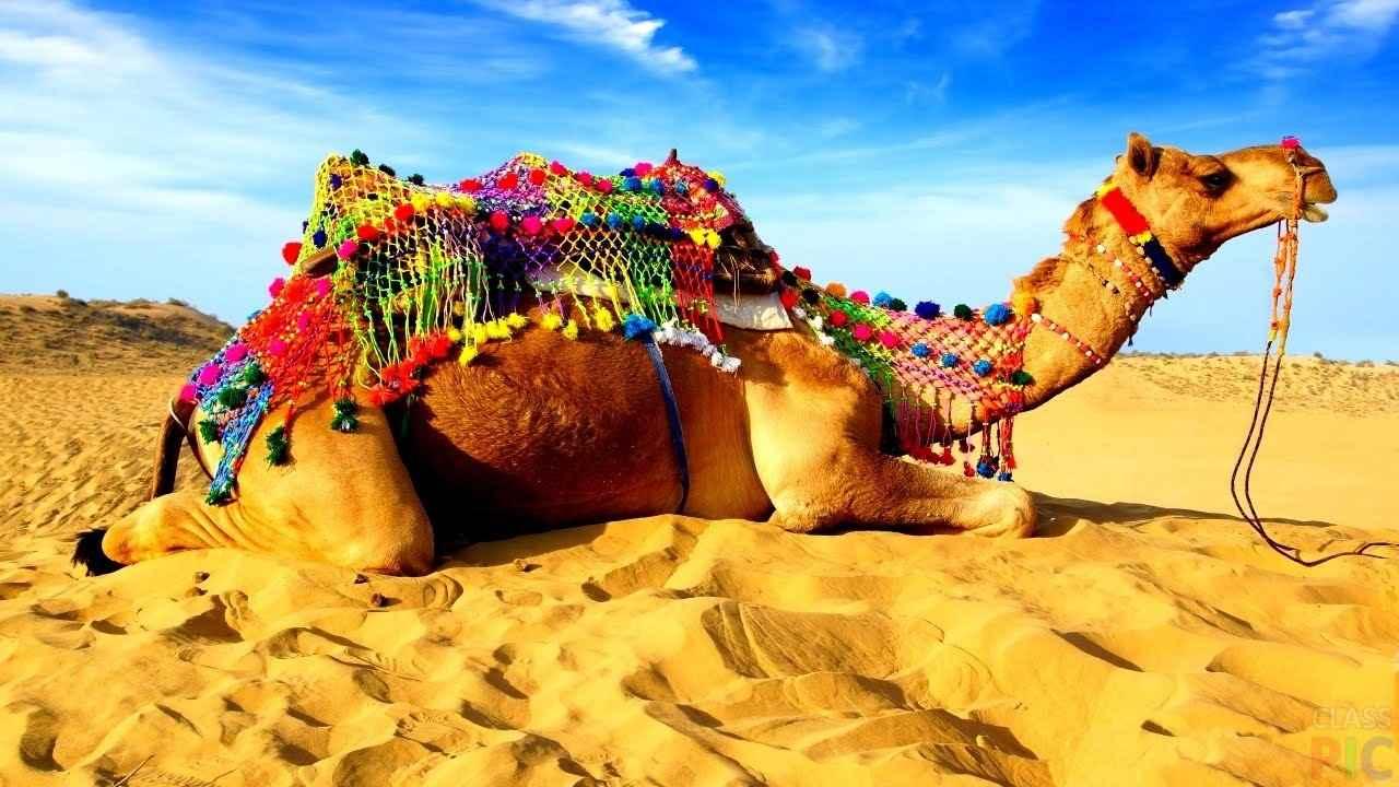 Красивый верблюд фото животного 02