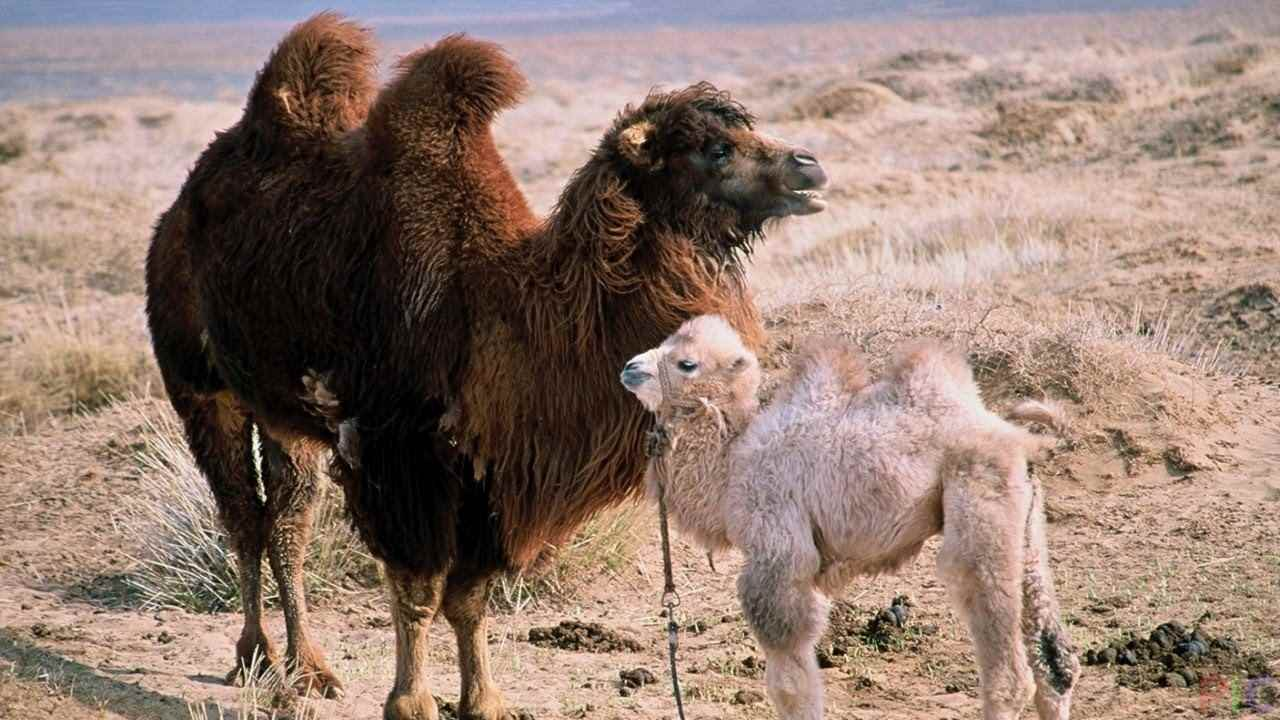 Красивый верблюд фото животного 03