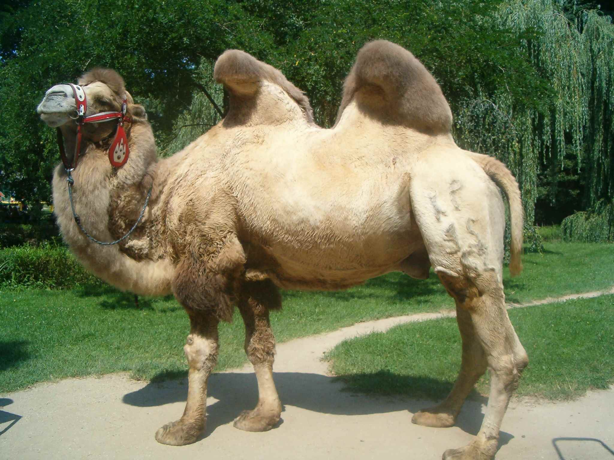 Красивый верблюд фото животного 04