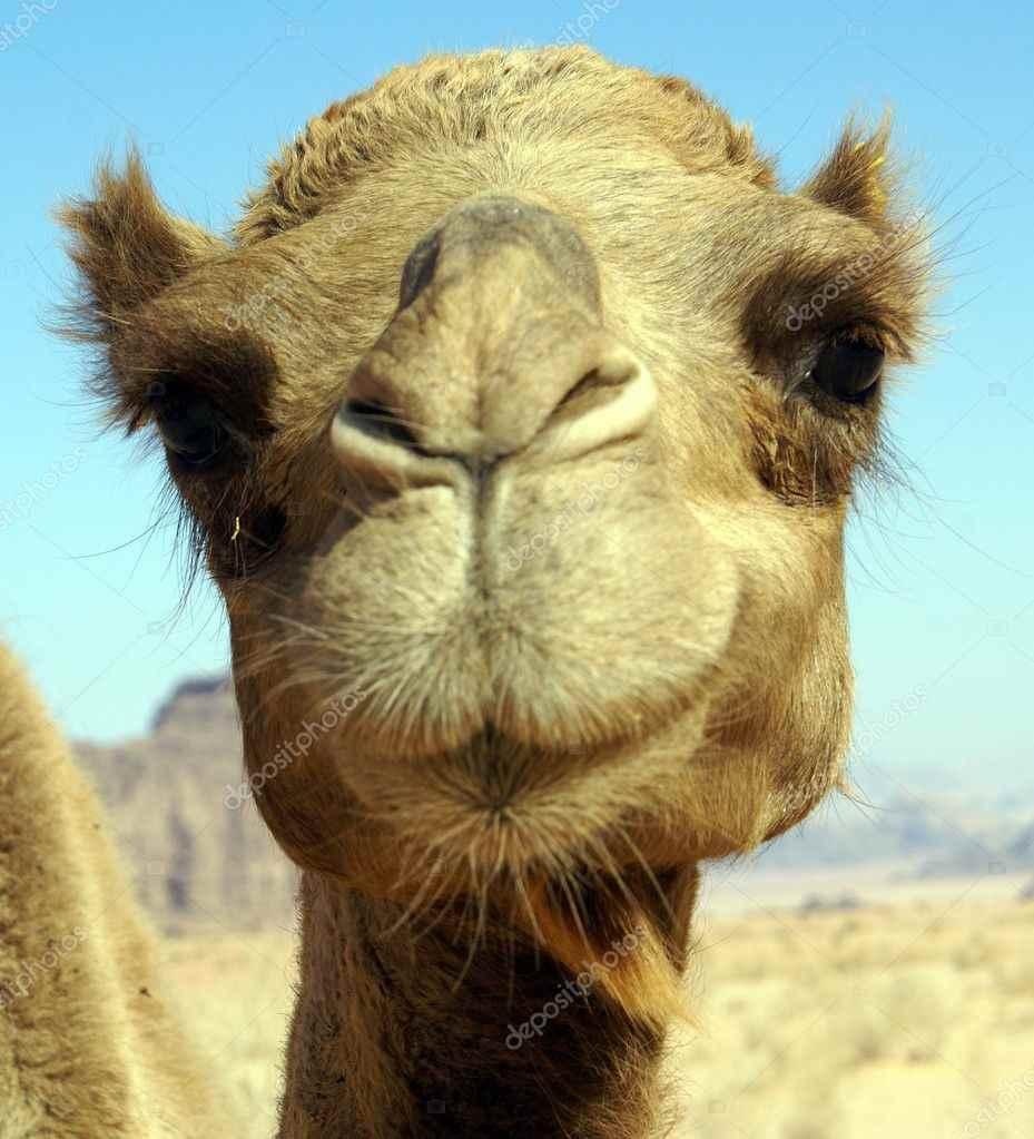 Красивый верблюд фото животного 06