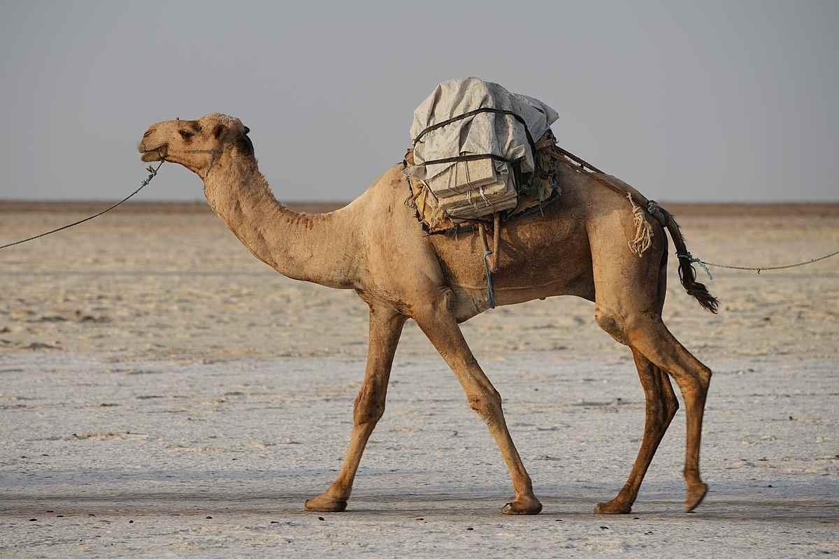Красивый верблюд фото животного 08