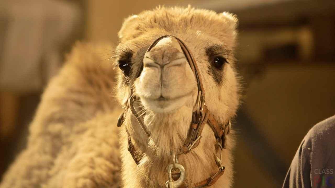 Красивый верблюд фото животного 09