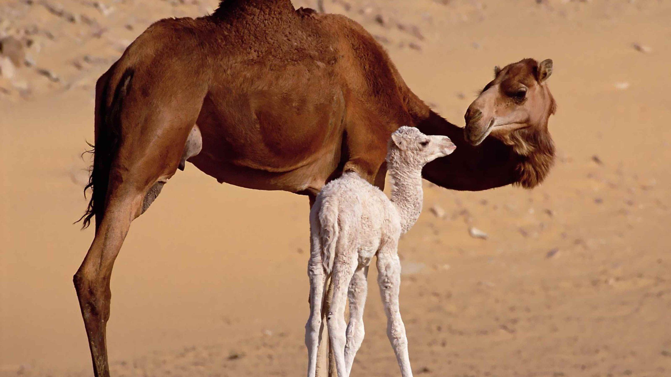 Красивый верблюд фото животного 10