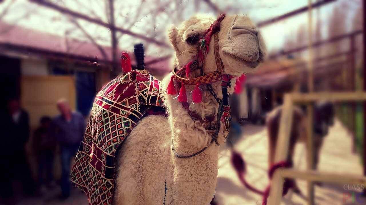 Красивый верблюд фото животного 13