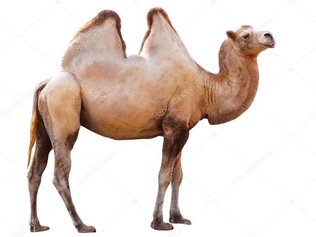 Красивый верблюд фото животного 15