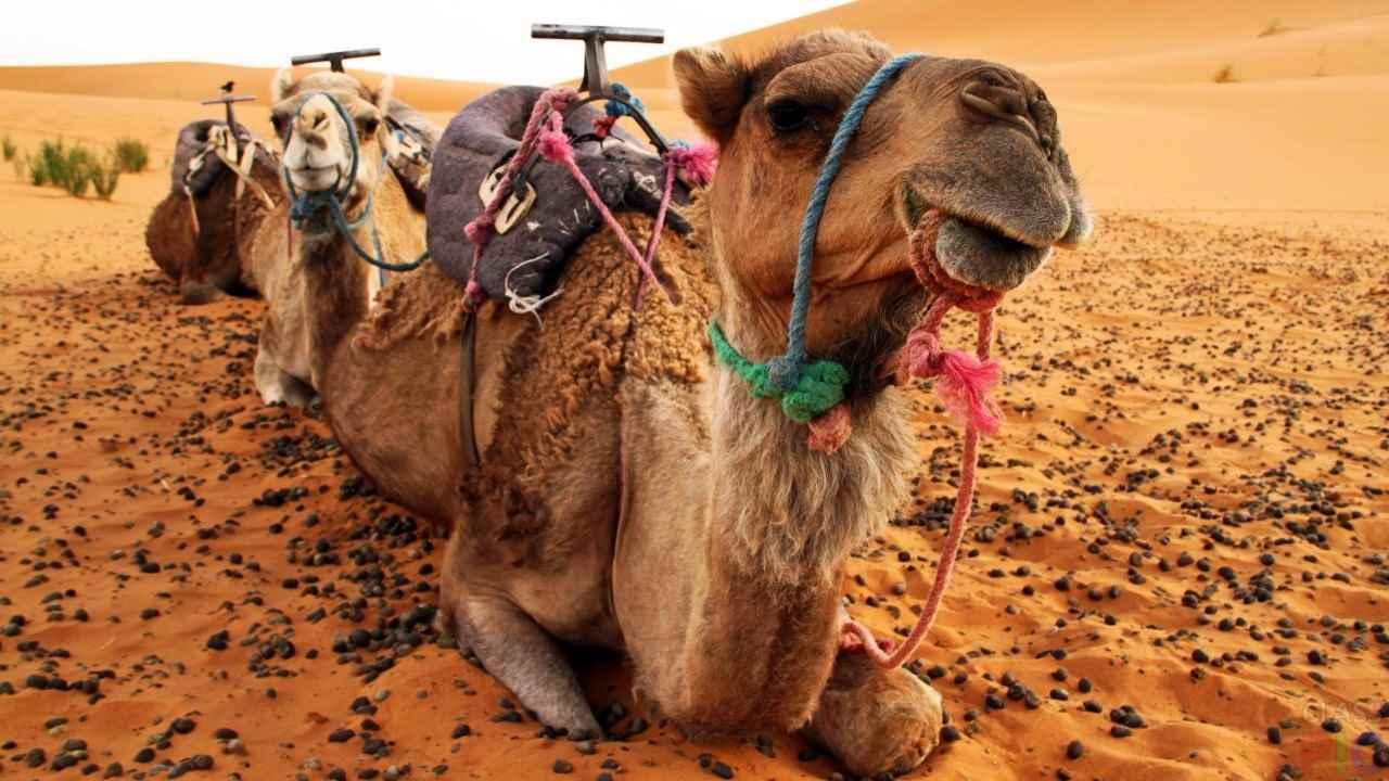 Красивый верблюд фото животного 16