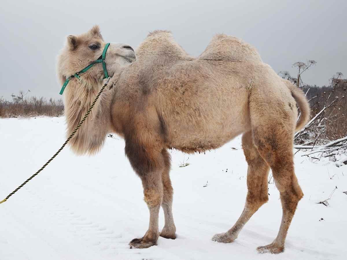 Красивый верблюд фото животного 20