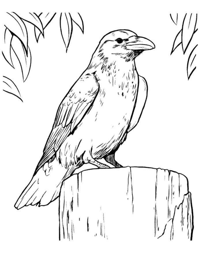 Картинки раскраска для детей Ворона (13)