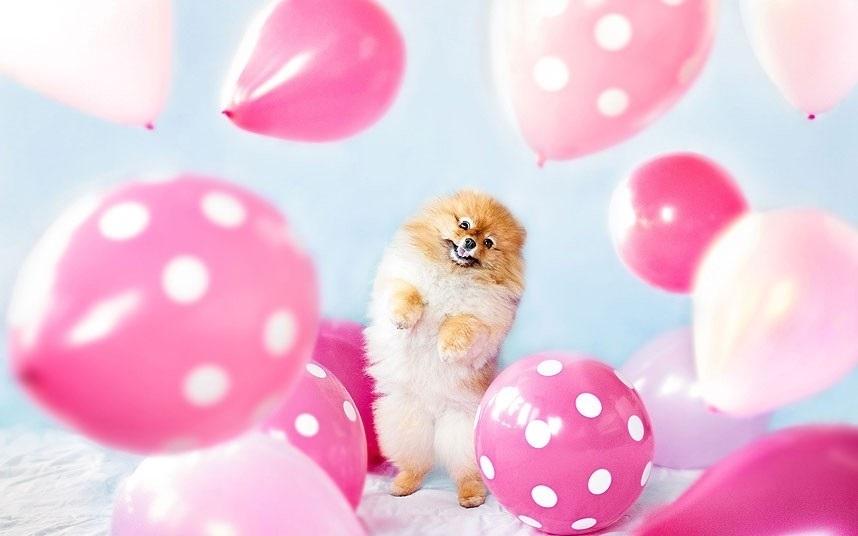Картинки шпиц с днем рождения (11)