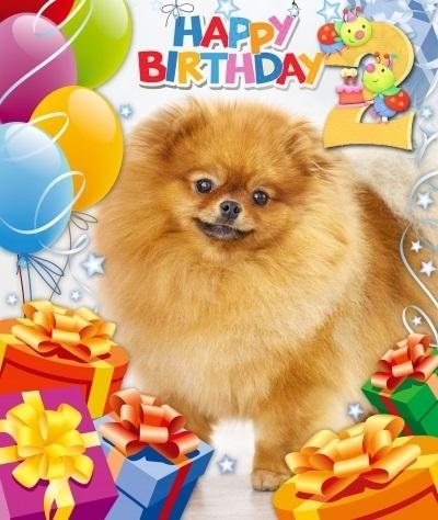 Картинки шпиц с днем рождения (6)