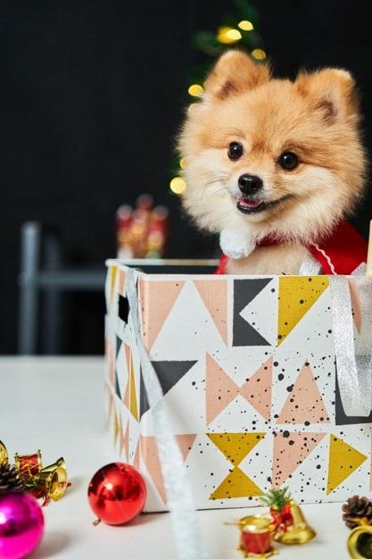 Картинки шпиц с днем рождения (8)