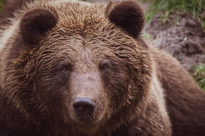 Медведь бурый картинка для детей (1)