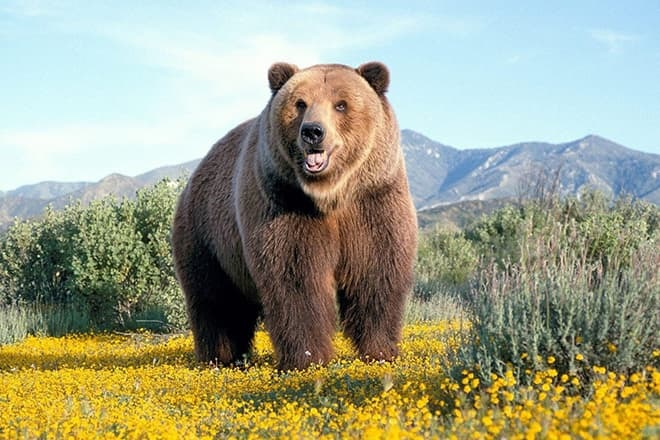 Медведь бурый картинка для детей (10)