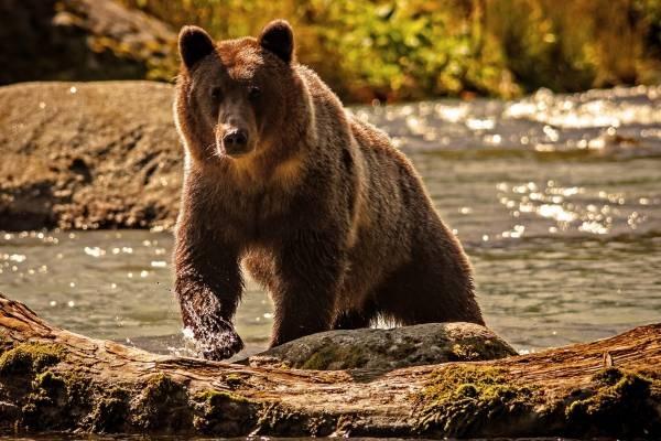 Медведь бурый картинка для детей (11)