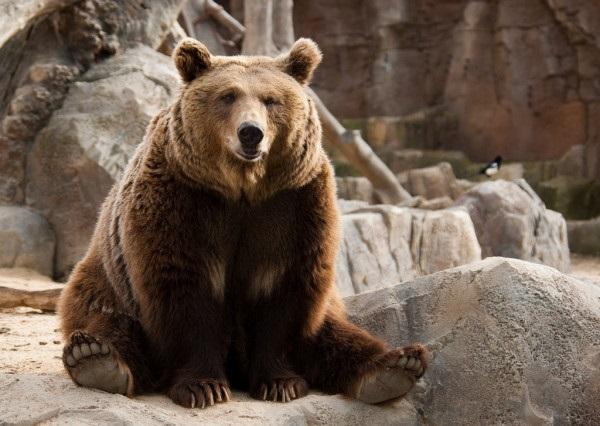 Медведь бурый картинка для детей (12)
