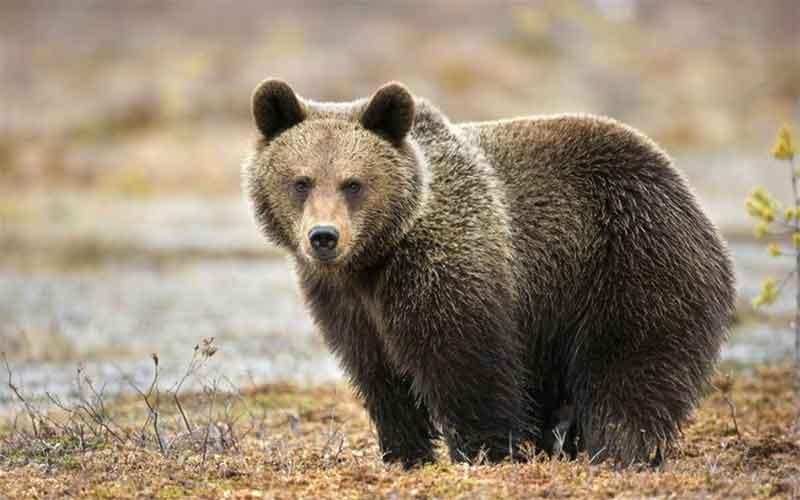 Медведь бурый картинка для детей (15)