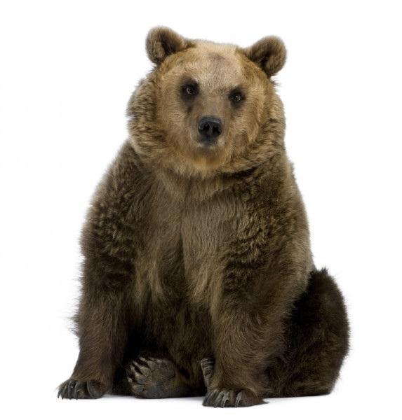 Медведь бурый картинка для детей (16)