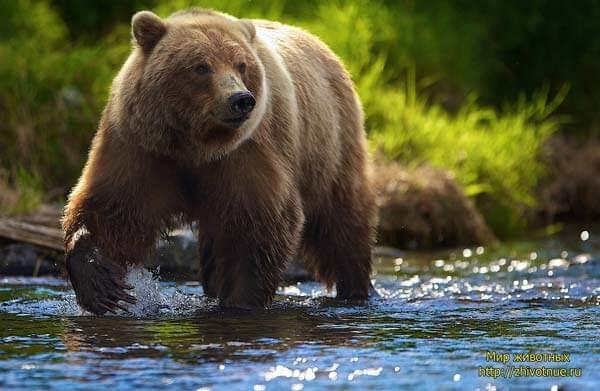 Медведь бурый картинка для детей (18)