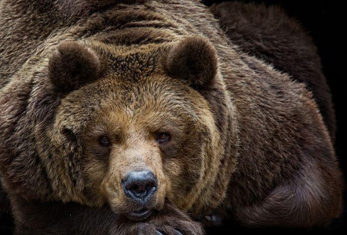 Медведь бурый картинка для детей (2)