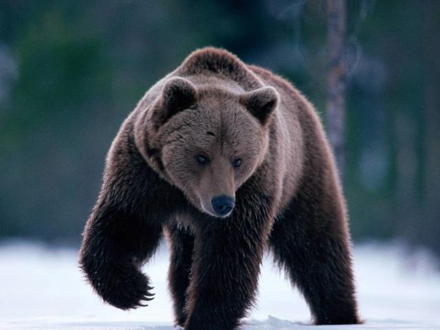 Медведь бурый картинка для детей (20)
