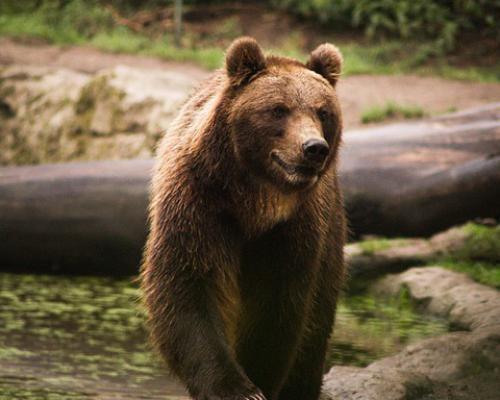 Медведь бурый картинка для детей (21)