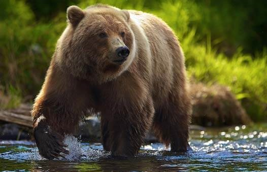 Медведь бурый картинка для детей (22)