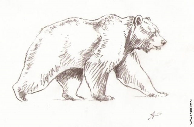 Медведь бурый картинка для детей (23)