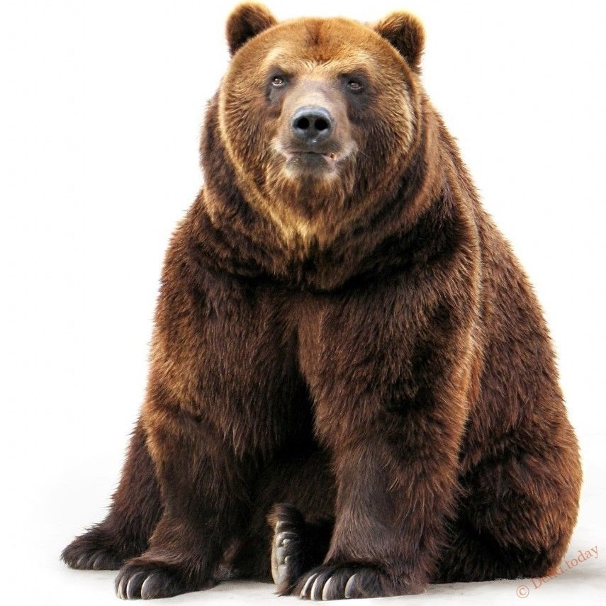 Медведь бурый картинка для детей (25)
