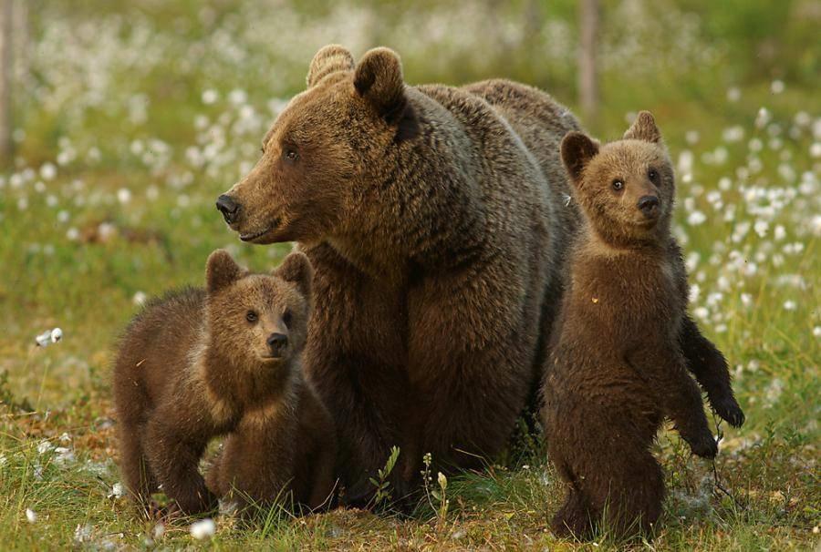 Медведь бурый картинка для детей (26)