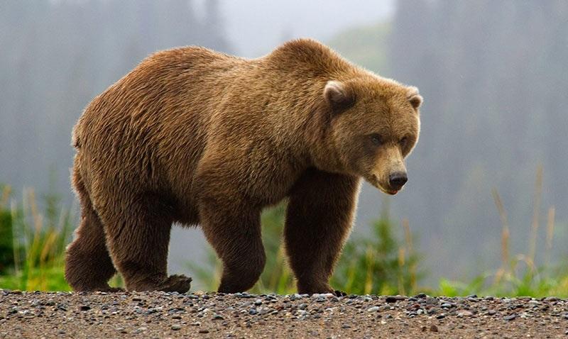 Медведь бурый картинка для детей (3)