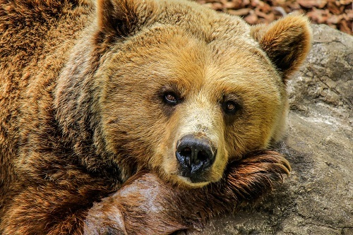 Медведь бурый картинка для детей (5)