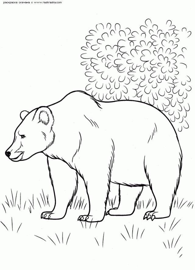 Медведь бурый картинка для детей (6)