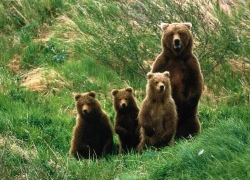 Медведь бурый картинка для детей (8)