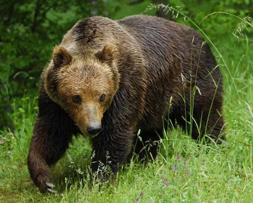 Медведь бурый картинка для детей (9)