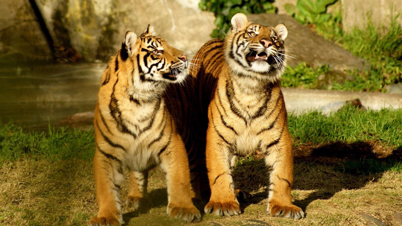 Тигрята на рабочий стол картинки (1)