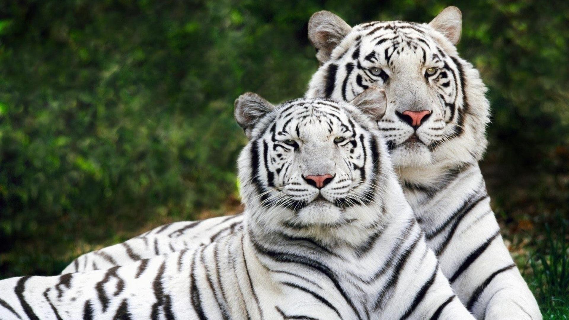 Тигрята на рабочий стол картинки (10)