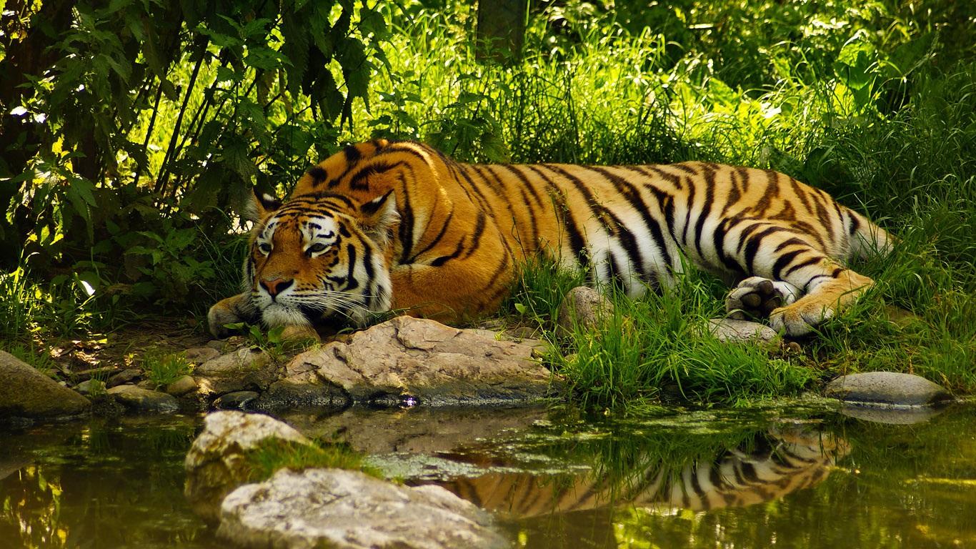 Тигрята на рабочий стол картинки (11)