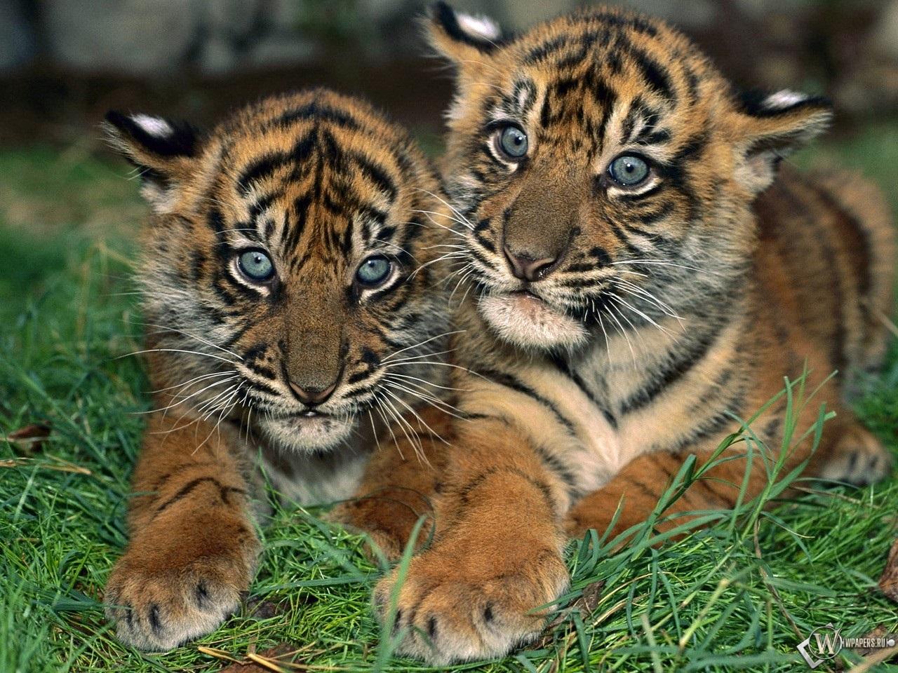 Тигрята на рабочий стол картинки (12)