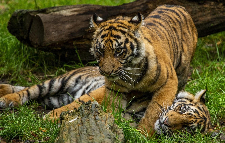 Тигрята на рабочий стол картинки (13)
