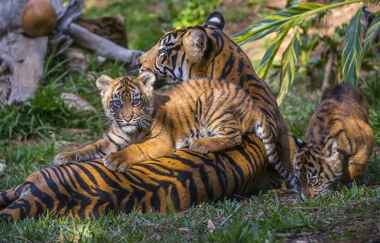 Тигрята на рабочий стол картинки (15)