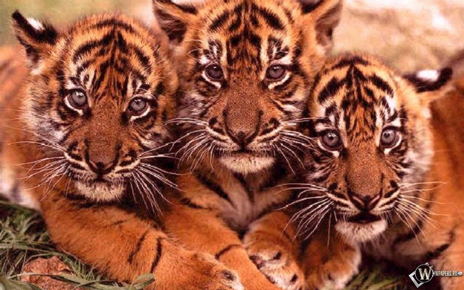 Тигрята на рабочий стол картинки (17)